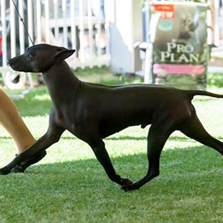 Read More about Xoloitzcuintles Best In Show