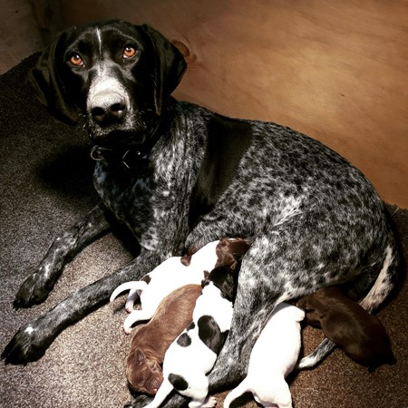 Read More about German short haired pointer